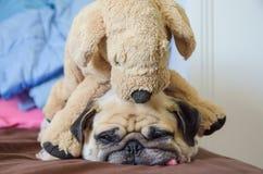 逗人喜爱的狗小狗哈巴狗的面孔的关闭要睡觉休息舌头ou 库存照片