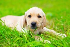 逗人喜爱的狗小狗拉布拉多猎犬咬住草 免版税库存图片