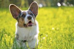 逗人喜爱的狗彭布罗克角威尔士羊毛衫在外面公园 库存图片