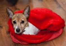 逗人喜爱的狗插孔罗素狗 库存照片