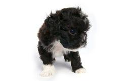 逗人喜爱的狗查出的小的小狗shihtzu 免版税库存图片