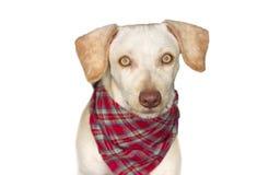 逗人喜爱的狗查出的白色 免版税库存照片