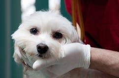 逗人喜爱的狗检查的狩医 免版税库存照片