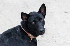 逗人喜爱的狗的黑颜色 库存图片