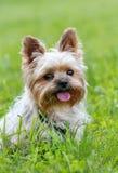 逗人喜爱的狗约克夏 免版税图库摄影