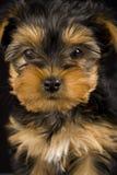 逗人喜爱的狗约克夏 库存照片