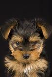 逗人喜爱的狗约克夏 免版税库存照片