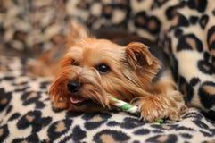 逗人喜爱的狗约克夏 免版税库存图片