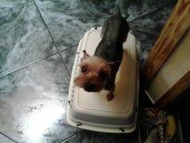 逗人喜爱的狗约克夏 库存图片