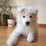 逗人喜爱的狗萨莫耶特人 免版税库存图片