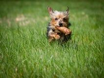逗人喜爱的狗通过绿色草甸跑并且拿着在他的嘴的锥体,狗佩带玩具 免版税库存图片