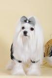 逗人喜爱的狗马尔他在迷人的成套装备 库存图片