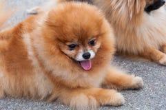 逗人喜爱的狗(黑貂Pomeranian) 免版税库存图片