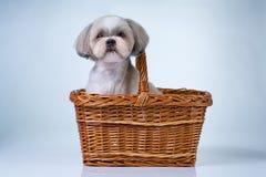 逗人喜爱的狗shih tzu 免版税库存图片