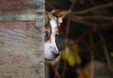 逗人喜爱的狡猾的狗滑稽偷看在他的多雨天气的摊外面 库存图片