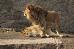 逗人喜爱的狮子家庭 库存图片