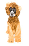 逗人喜爱的狮子狗 免版税库存图片