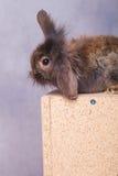 逗人喜爱的狮子头兔子兔宝宝开会,当看下来时 免版税库存照片