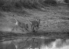 崽逗人喜爱的狮子 图库摄影