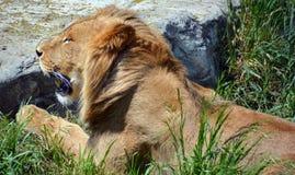 崽逗人喜爱的狮子 免版税图库摄影