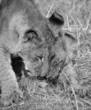 崽逗人喜爱的狮子 免版税库存照片