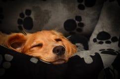 逗人喜爱的猎犬小狗熟睡在她的床上 免版税图库摄影