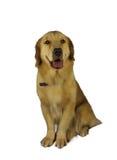 逗人喜爱的猎犬 免版税库存照片