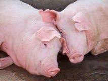 逗人喜爱的猪粉红色 免版税库存照片