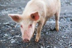 逗人喜爱的猪年轻人 免版税库存图片