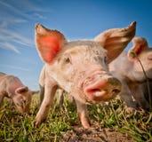逗人喜爱的猪 免版税图库摄影
