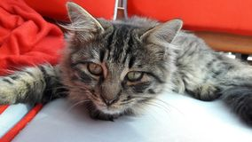 逗人喜爱的猫休息 免版税库存图片
