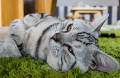 逗人喜爱的猫在一张绿色地毯躺下 免版税库存照片