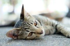 逗人喜爱的猫在地板上躺下 免版税库存图片