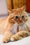 安哥拉猫猫 库存照片