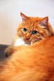 安哥拉猫猫 库存图片