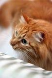 安哥拉猫猫 免版税库存照片