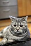 英国Shorthair猫 免版税库存图片