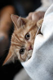 英国Shorthair猫 库存照片