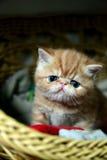 异乎寻常的Shorthair猫 免版税图库摄影