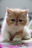 异乎寻常的Shorthair猫 库存照片