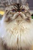 喜马拉雅猫 免版税库存图片