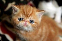 异乎寻常的Shorthair猫 免版税库存图片