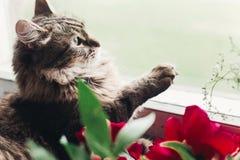 逗人喜爱的猫坐与美丽的红色牡丹和p的窗口基石 库存照片