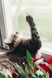 逗人喜爱的猫坐与美丽的红色牡丹和p的窗口基石 免版税库存图片