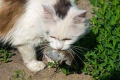 逗人喜爱的猫捉住了一只老鼠和举行室外的牙的 免版税库存照片