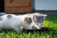 逗人喜爱的猫饮用奶 免版税库存图片