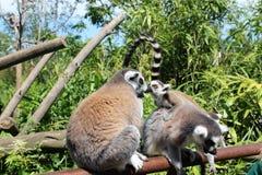 逗人喜爱的猴子亲吻  免版税图库摄影