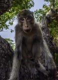 逗人喜爱的猴子启远地调查照相机螃蟹吃短尾猿猕猴属 库存图片