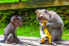 逗人喜爱的猴子在Ubud猴子森林,巴厘岛,印度尼西亚居住 免版税库存照片
