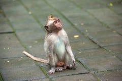 逗人喜爱的猴子在Ubud猴子森林,巴厘岛,印度尼西亚居住 库存图片